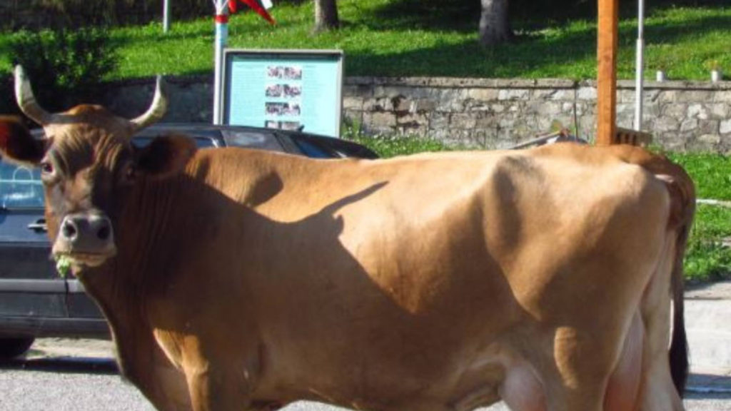 Защо се смее веселата крава? (откъс)